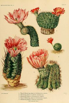 """The Cactaceae : descriptions and illustrations of plants of the cactus family by N. Britton and J. Published 1919 BHL Collections: New York Botanical Garden "" Science Illustration, Nature Illustration, Botanical Illustration, Vintage Botanical Prints, Botanical Drawings, Botanical Flowers, Botanical Art, Botanical Posters, Illustration Botanique"