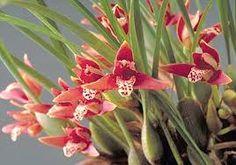 Znalezione obrazy dla zapytania maxillaria tenuifolia