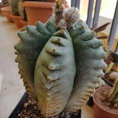 astrophytum myriostigma cv. Kikko