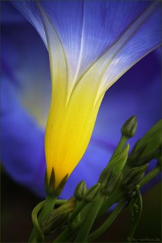 ~~ flower garden ~~ morning glory from a different perspective. I have these on my mail box and round my light post.