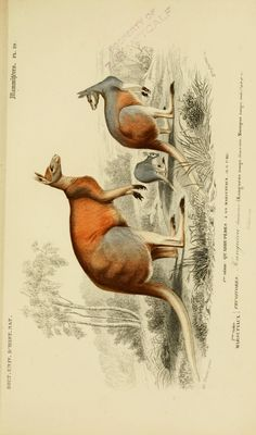 The Biodiversity Heritage Library works collaboratively to make biodiversity literature openly available to the world as part of a global biodiversity community. Science Illustration, Nature Illustration, Illustration Botanique, Historia Natural, John James Audubon, Nature Collection, Vintage Drawing, Australian Animals, Antique Illustration