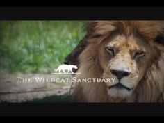 The Wildcat Sanctuary is home to over 100 rescued exotic cats. These animals need your help! Please help better the lives of these amazing creatures and dona. Exotic Cats, Serval, Adventure Is Out There, Cat Gif, Lion, Creatures, Kitty, Amazing, Animals