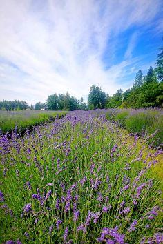 Lavender Farm British Columbia, Tuscan Farm Gardens Farm Gardens, Surrey, British Columbia, Lavender, Adventure, Travel, Outdoor, Outdoors, Viajes