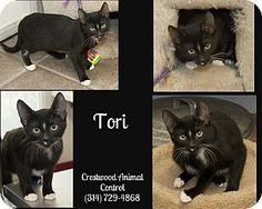 Crestwood, MO - Domestic Shorthair. Meet Tori a Kitten for Adoption.