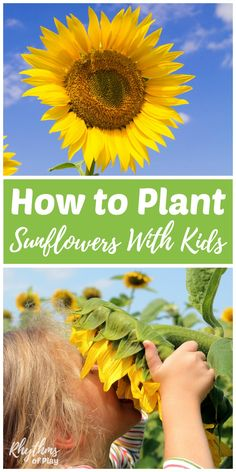 Learning how to plant sunflowers is an easy beginning gardening project for kids. Sunflowers are one of the easiest flowers to plant from seed directly into the earth. They quickly grow into large magical flowers that kids love to admire and enjoy. Grow t