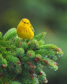 yellow warbler. [photo by clyde barett; from birds of a feather]