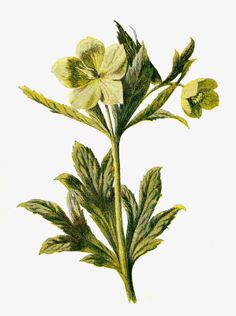 Free Digital Flower Clip Art: Wildflower Graphic of Green Hellebore