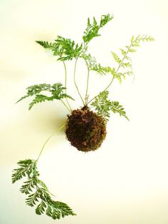 Utsuwa Flora Design: Hanging fern moss balls are traditional style in Japan.Soak it twice a week or every other day. Requires bright ,indirect light. No direct sun.