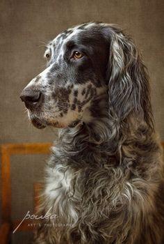 Portrait of a Ryman English Setter. Photographed by Pouka Fine Art Pet Portraits.