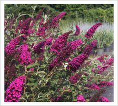 Buddleja 'Velvet Buzz' | Lambley Nursery