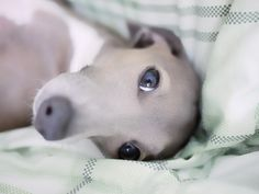 ~Italian Greyhound~oh, how sweet!  Who could resist a face like that?!