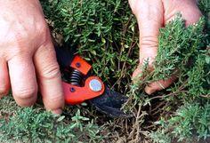 Plante aromatique mellifère, le thym se récolte en juin, lors de sa floraison. En bocal, séché ou dans l'huile : méthodes de conservation.