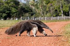 The Pantanal Series: Walking with a Giant Anteater Nature Animals, Animals And Pets, Cute Animals, Armadillo, Weird Looking Animals, Amazon Animals, Amazon Rainforest Animals, Giant Anteater, Interesting Animals