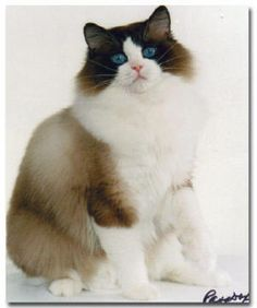 Furreal Zapata, the father of our 3 Ragdoll cats.  This photo came from Furreal Ragdolls, our breeder's site.