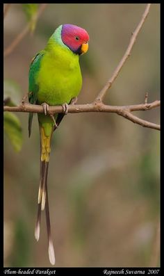 Plum Headed Parakeet - ©Rajneesh Suvarna - http://naturechronicles.com/gallery/v/Feather/Parakeet_PlumHeaded+9968_fcw.jpg.html