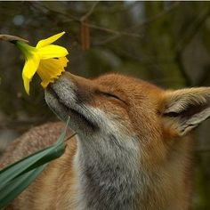 6) favorite smell photo fox smelling flower- he even has his eyes closed.
