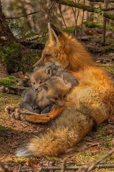I love this picture!!!!❤️❤️❤️ Fantastic Fox, Fox Art, Nature Animals, Baby Animals, Animals And Pets, Funny Animals, Cute Animals, Fox Pictures, Mundo Animal