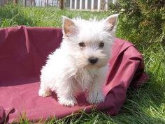 adorable Westie pup