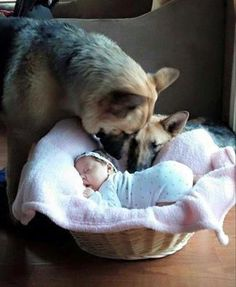The German Shepherd Dog Community's photo.