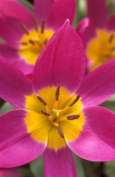 Tulipan Tulipa 'Eastern Star' Fotografia de John Glover, uno de los primeros y de los mas importantes fotografos de jardin del Reino Unido
