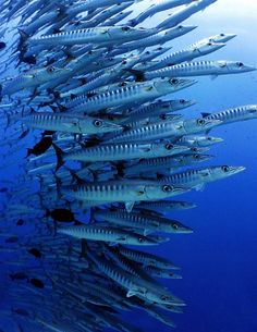 Bunches-of-barracuda...they have lightening speed and incredible accuracy.  It is a savage and fierce hunter with cannibalistic tendencies. They herd their prey into schools to increase their success.  Very capable of lacerating a human limb.