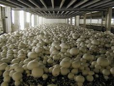 Most people who go in for mushroom growing just go out and buy both the spores (or spawn) and the growth medium. They do this because this is the easiest way to grow mushrooms. But if you are thinking of growing mushrooms commercially Home Hydroponics, Aquaponics System, Hydroponic Gardening, Aquaponics Fish, Greenhouse Farming, Garden Mushrooms, Edible Mushrooms, Stuffed Mushrooms, How To Grow Mushrooms