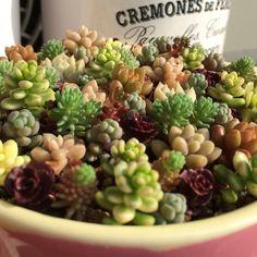 セダム寄せが動き出した #セダム#多肉#多肉植物#succulents#sedum by may__moko