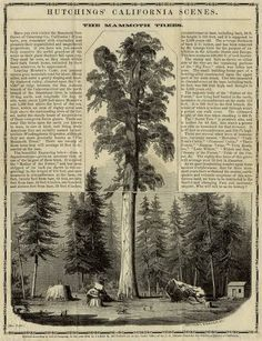 """""""The Mammoth Trees,"""" Lithograph, 1854.  Hutchings California Scenes 