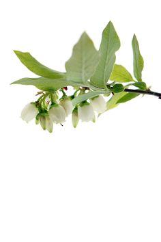 White blossoms, blue berries STILL blog