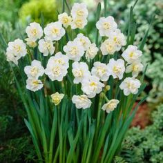 Daffodil Cheerfulness, Pack of 20 Dormant Bulbs-70137 at The Home Depot
