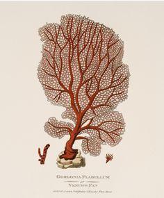 Gorgonia Flabellum Red