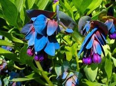 """""""Fast-growing, tough, hardy, and easy to grow from seed."""" They also yield the prettiest combination of blue leaves and purple flowers. Get the seeds here."""