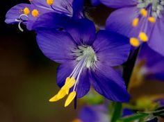 Lehtosinilatva, Polemonium caeruleum - Kukkakasvit - LuontoPortti