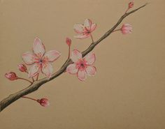Cherry blossom color pencil drawing :)