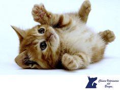 CLÍNICA VETERINARIA DEL BOSQUE. Es importante consultar el historial de salud del gato que quieres adoptar para saber si requiere algún cuidado a largo plazo. ¿Podrás pagar las necesidades médicas de esa mascota? Incluso si el gato es saludable, ten en cuenta su raza ya que pueden tener problemas genéticos. En México la inmensa mayoría de gatitos no son de raza, una gran ventaja genética. En Clínica Veterinaria del Bosque, te podemos asesorar a este respecto, te invitamos a comunicarte con…