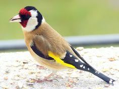 European goldfinch or goldfinch (Carduelis carduelis)