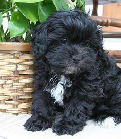 Shih-Poo - a cross between a shih tzu and a poodle :) Shih Tzu Poodle Mix, Shih Poo Puppies, Poodle Mix Puppies, Shih Tzu Mix, Shih Tzu Puppy, Cute Puppies, Dogs And Puppies, Cute Dogs, Shih Tzus