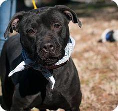 NO LONGER LISTED- URGENT!!! Dallas, GA - Pit Bull Terrier Mix. Meet 16-01-0230 Barbie, a dog for adoption. Paulding County Animal Control 779 Industrial Blvd N Dallas, GA 30132 (770) 445-1511 http://www.adoptapet.com/pet/14804179-dallas-georgia-pit-bull-terrier-mix