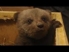Cute Baby Bear Cub Boris - FreeStuff.Website