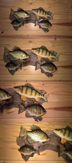Fish 71127: Beautiful Crappie Sunfish Bluegill Perch Panfish Fish Mount Taxidermy Wildlife , BUY IT NOW ONLY: $129.0
