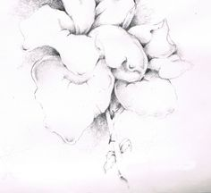 blown rose, graphite (possible for Gone to Seed series)