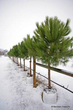 Pinus pinea at Barcham Trees