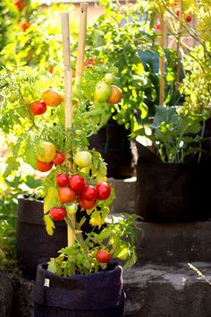 Make a vegetable garden on your balcony: the advice of a pro and .- Faire un potager sur son balcon : les conseils d'un pro et son matériel How to make a vegetable garden on your balcony: the advice of a pro and your equipment – CôtéMaison. Potager Bio, Potager Garden, Edible Garden, Summer Garden, Indoor Garden, Vegetable Garden, Pot Jardin, Garden Equipment, Chinese Garden