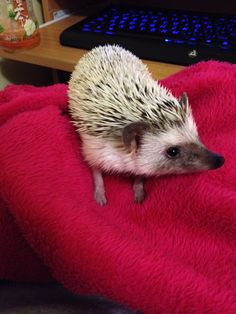 My cute hedgehog ~