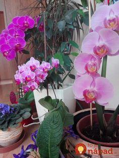 Sú listy orchideí ochabnuté, odpadajú im púčiky a nechcú kvitnúť? TAKTO jednoducho im pomôžete!