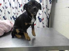 01/26/17-HOUSTON-SUPER URGENT - This DOG - ID#A476548 I am a male, brown and black Chihuahua - Smooth Coated. My age is unknown. I have been at the shelter since Jan 26, 2017. This information was refreshed 45 minutes ago and may not represent all of the animals at the Harris County Public Health and Environmental Services