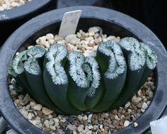 #haworthia #succulent #cactus#truncata#多肉植物#玉扇#たにくしょくぶつ #サボテン#ハオルチア #กระบองเพชร #옥선#하월시아#다육식물 #다육이 #에케베리아