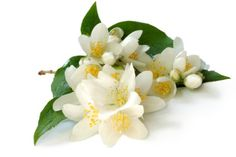 Jasmine (Jasminum officinale) essential oil; an expensive and aphrodisiac essential oil.  Jasmine is not a true essential oil due to its method of extraction.  In aromatherapy practice, jasmine oil is analgesic, antiseptic and anti-inflammatory.  For more information, visit: http://www.aromatherapylibrary.com/jasmineessentialoilprofile.html