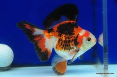 Tri-Color Broadtail Ryukin 4.75 inches » DandyOrandas.com