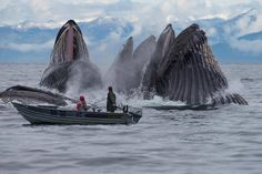 Whales surface spectacularly near a small boat (From Pacific Whale Research).